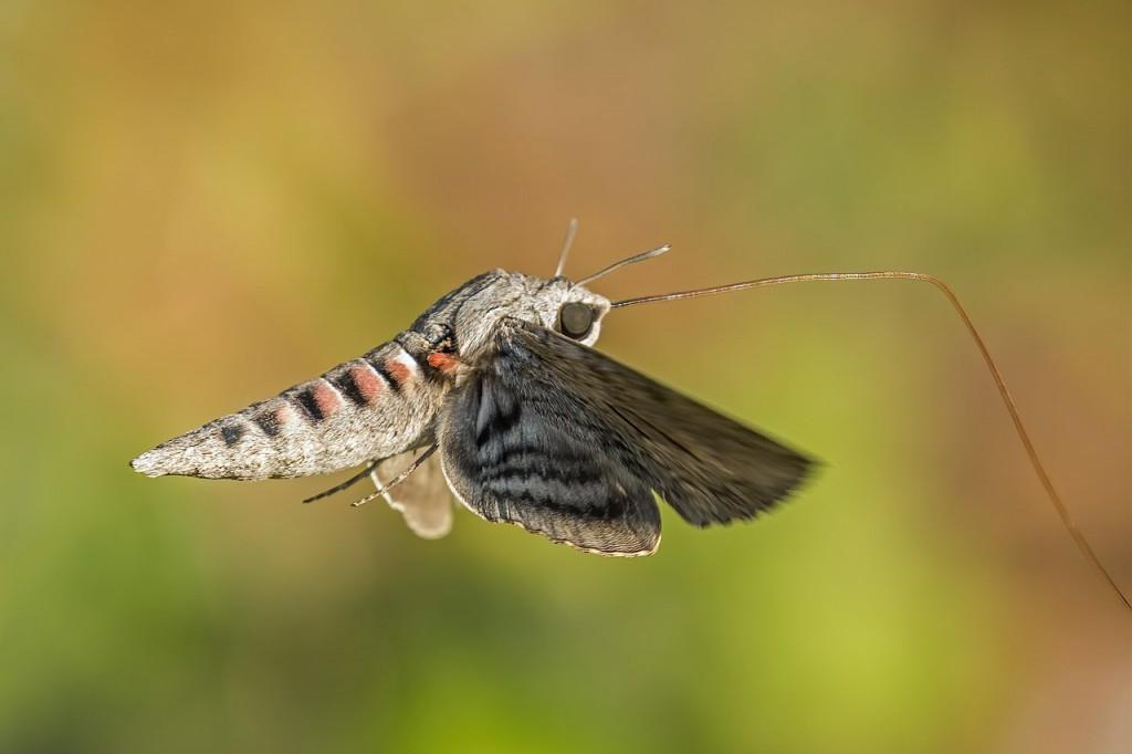 1280px-Convolvulus_hawk-moth_(Agrius_convolvuli)